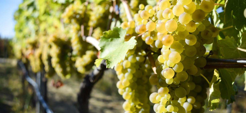 Viognier,-un-vitigno-che-profuma-di-storia