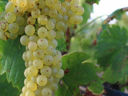 La Malvasia, un vino corposo dal sapore delicato