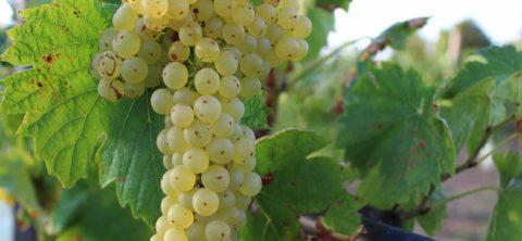 La-Malvasia,-un-vino-corposo-dal-sapore-delicato